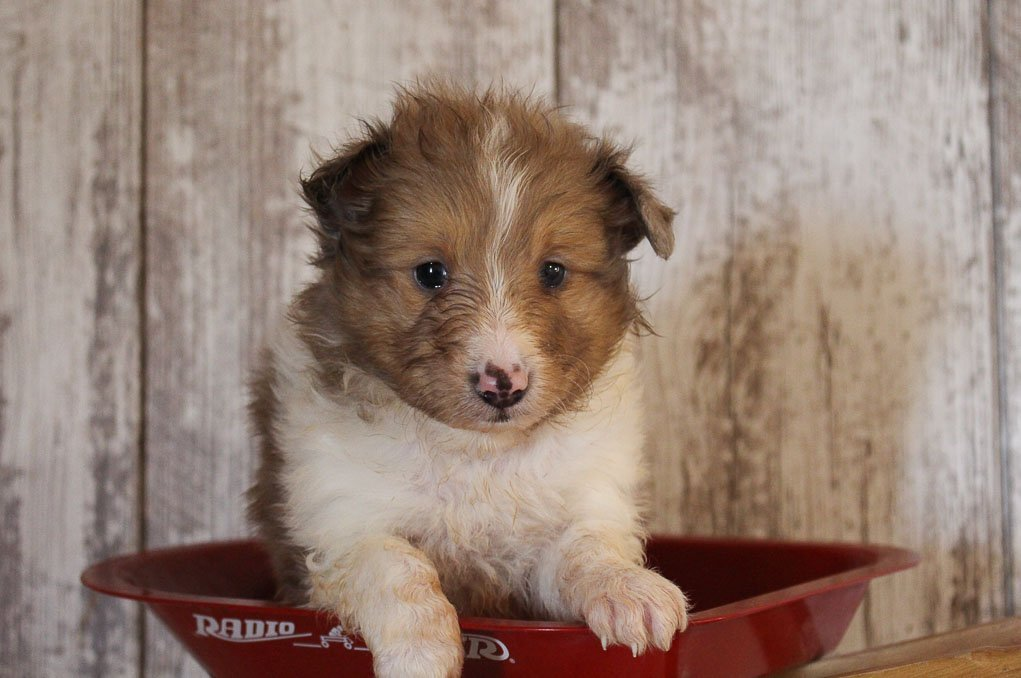 Pending A Male Akc Sheltie Puppy For Sale In Grabill Indiana
