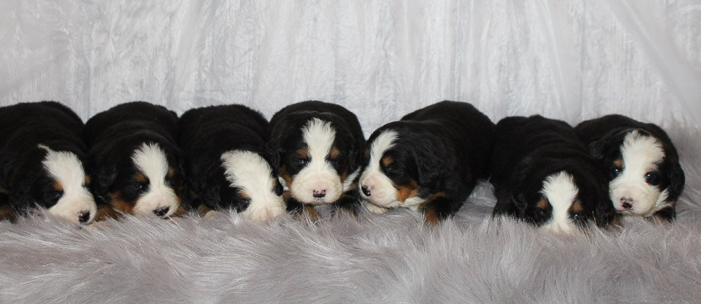 Liam and Lakie - AKC Bernese Mountain Dog puppies for sale in Grabill, IN