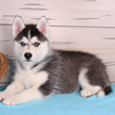 Cute Puppies For Sale Find The Right Puppy Here Vip Puppies
