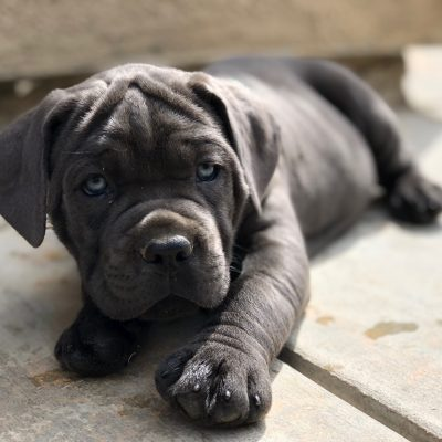 Blue Male - Cane Corso puppy for sale in Bakersfield, CA