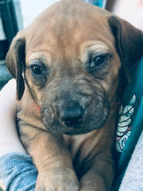 Red - AKC Rhodesian Ridgeback puppy for sale in Conway, Arkansas