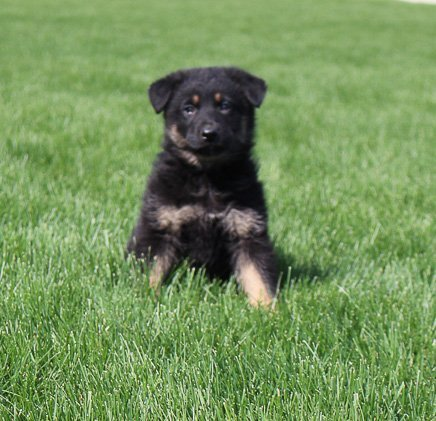 Tyler - male AKC German Shepherd puppy for sale in Grabill, IN