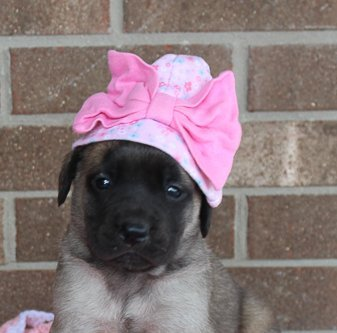 Graceful - female AKC English Mastiff puppy in Grabill, IN