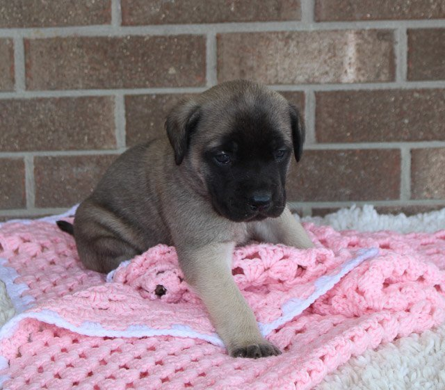 Graceful - female AKC English Mastiff puppy in Grabill, IN