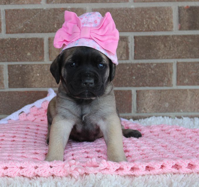 Pending - female AKC English Mastiff puppy for sale in Grabill, IN