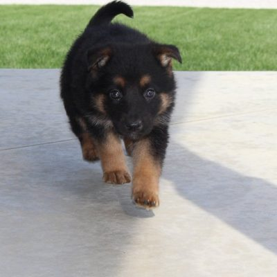 Maggie - AKC German Shepherd pupper for sale in Grabill, IN