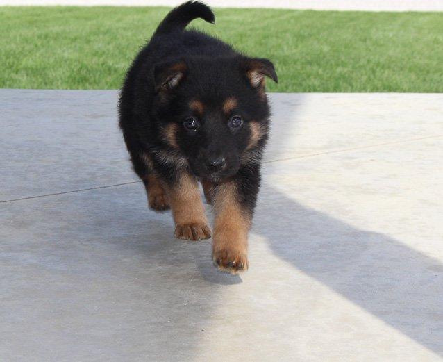 Maggie - AKC German Shepherd pupper for sale in Grabill, IN