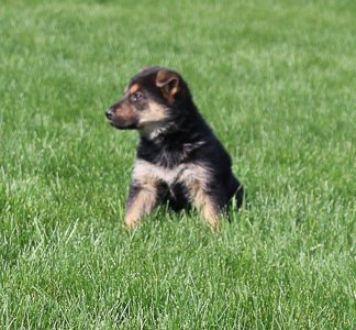 Nicole - female AKC German Shepherd puppy for sale in Grabill, IN