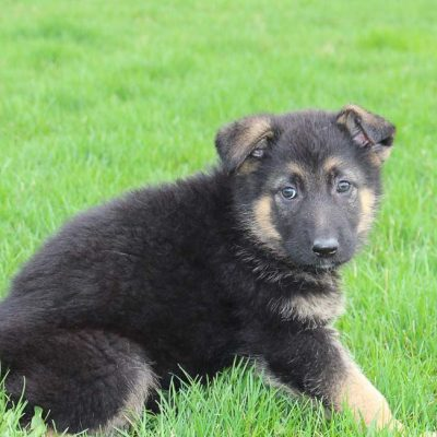 Barbie: a female AKC German Shepherd in Millersburg, IN