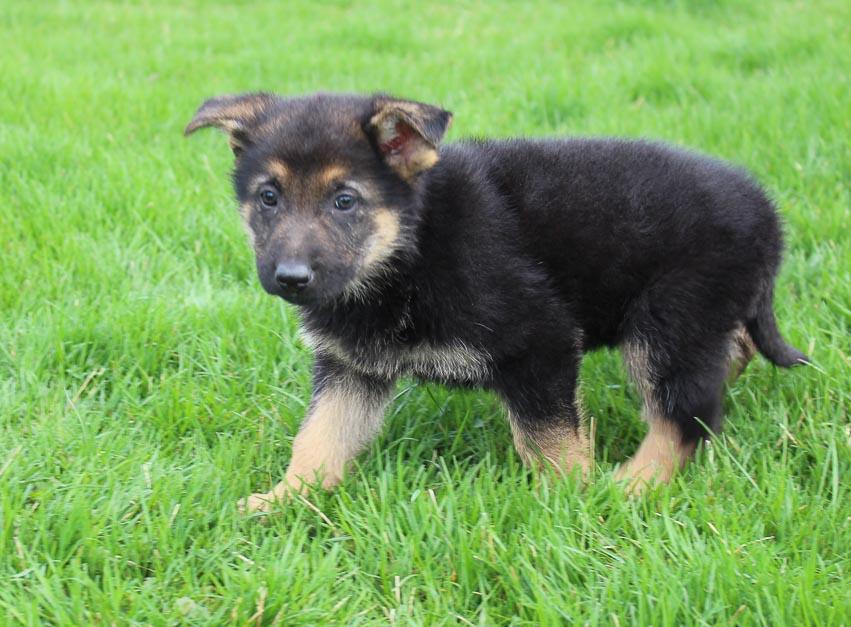 Becky: Female AKC German Shepherd puppy for sale in Millersburg, IN