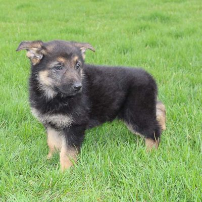 Becky: Female AKC German Shepherd puppy for sale in Millersburg, IN