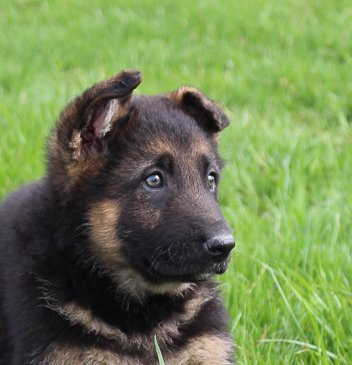 Beth: an AKC German Shepherd puppy for sale in Millersburg, IN