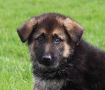 Ben: Male AKC German Shepherd puppy for sale in Millersburg, IN