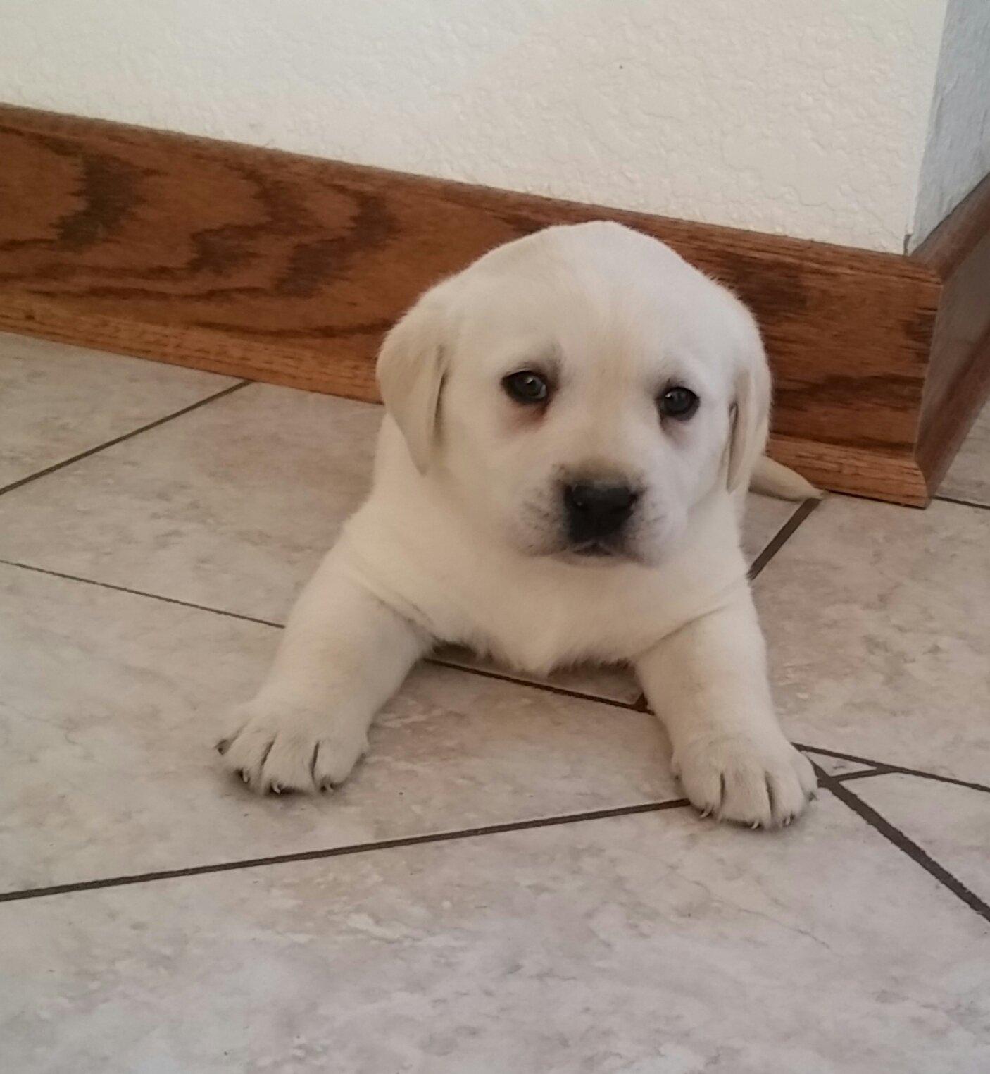 Addi AKC English Labrador Retriever in Woodburn, Indiana | VIP Puppies