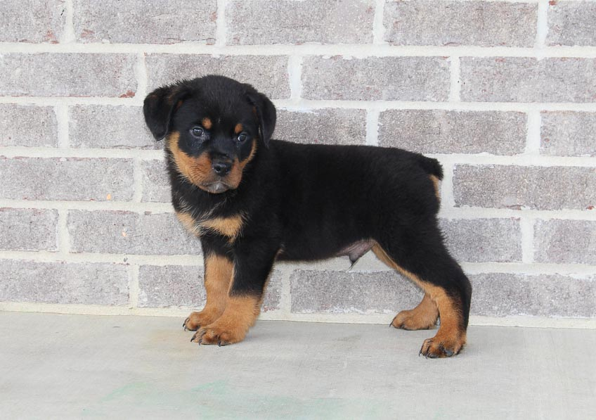 Collie - male AKC Rottweiler puppy for sale in Indiana