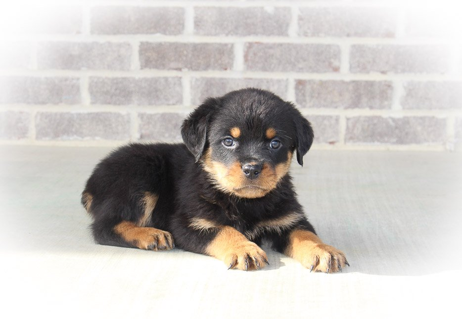 Celly - male AKC Rottweiler puppy in Woodburn, IN