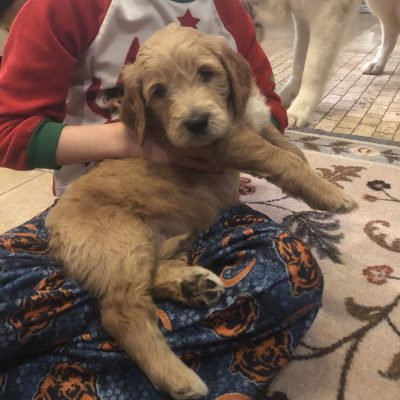 Sweet Stanely - male Goldendoodle puppy for sale in Elburn, IL