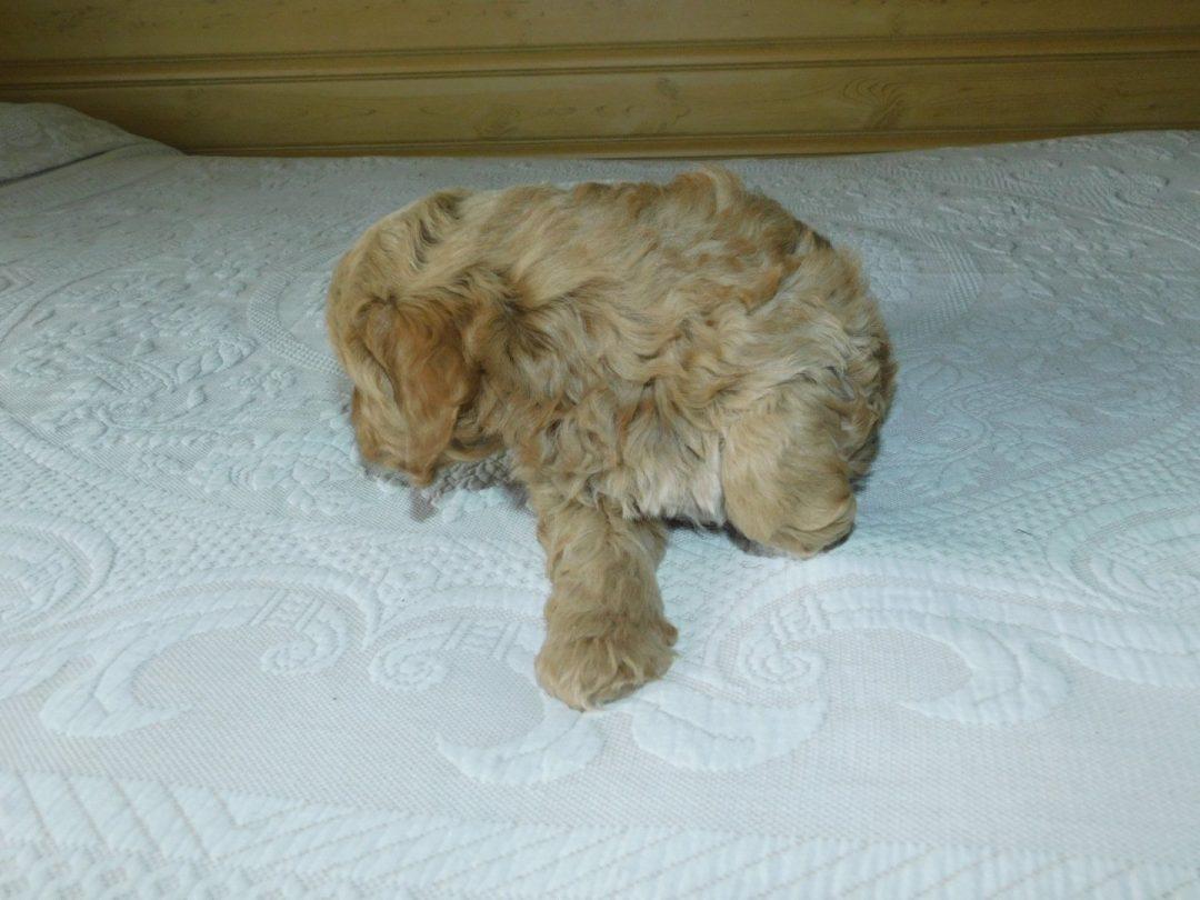 Oscar: Male Mini Goldendoodle puppy for sale in Reading, MI