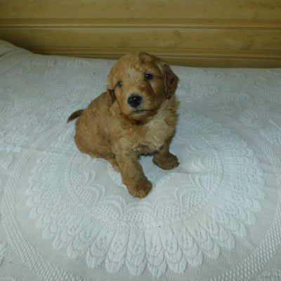 Tuffy: Male Mini Goldendoodle puppy from Reading, Michigan