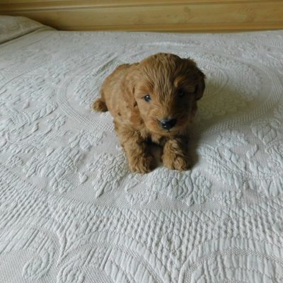 Buffy: Male Mini Goldendoodle puppy in Reading, Michigan