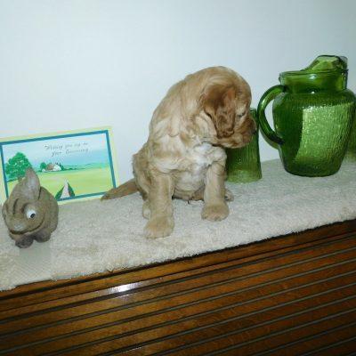Zane: Male Mini Goldendoodle puppy for sale in Reading, MI