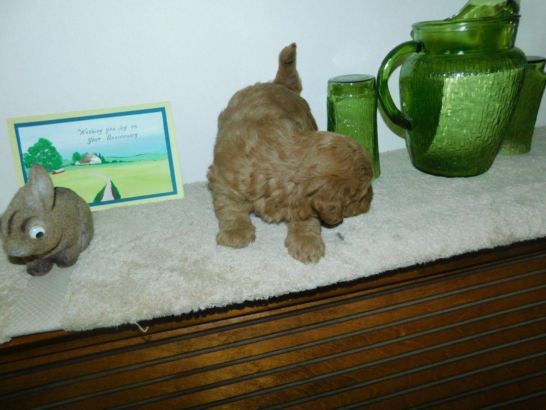 Buffy: Male Mini Goldendoodle puppy in Reading, Michigan