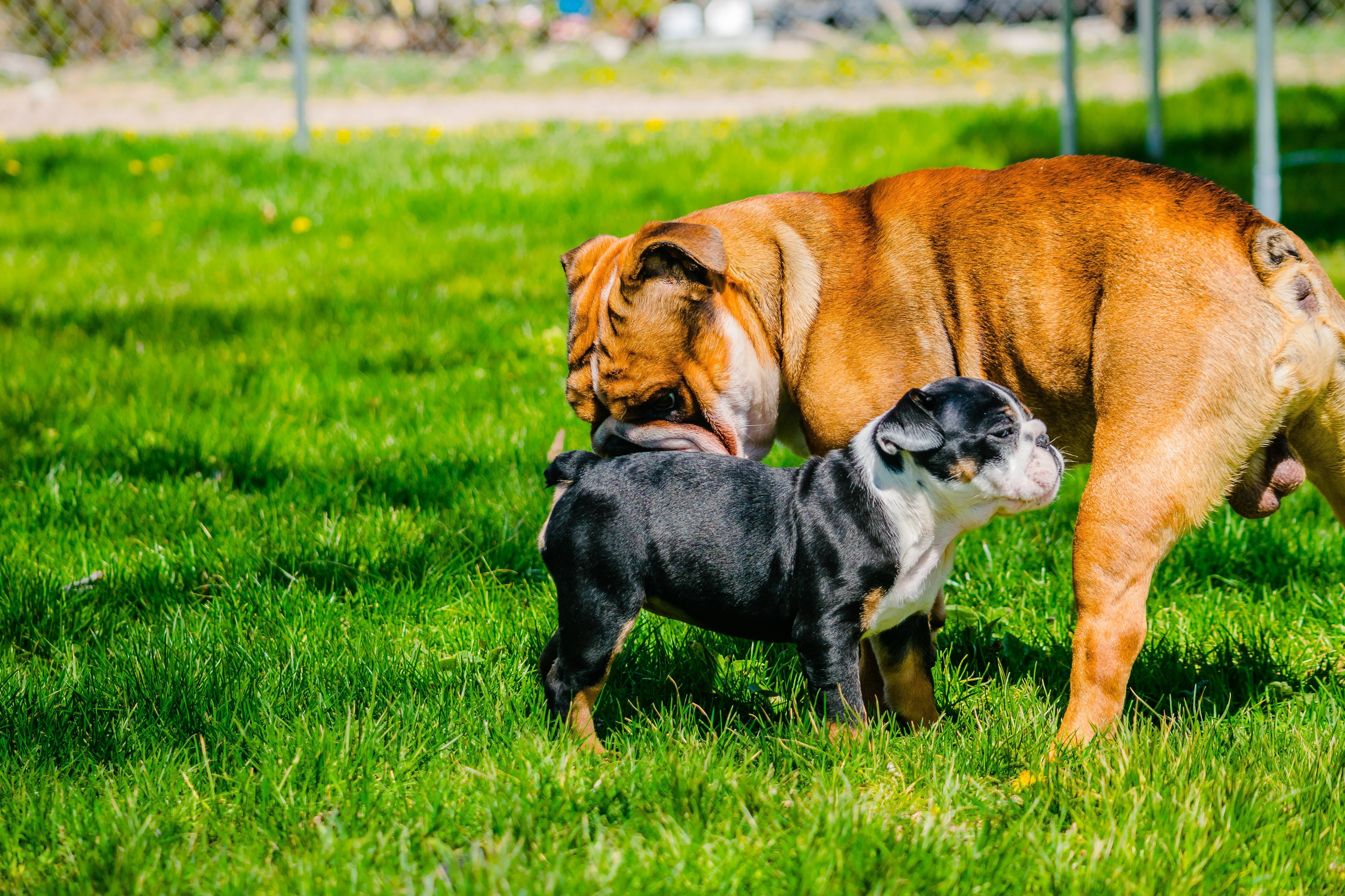 bulldog haven haven akc english bulldog puppy for sale in great falls 6330