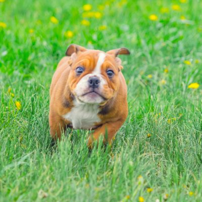 Rogue - AKC English Bulldog puppy for sale in Great Falls, MT