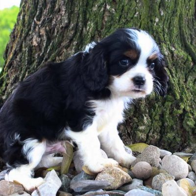 Chase: male AKC Cavalier King Charles Spaniel for sale [Grabill, Indiana]