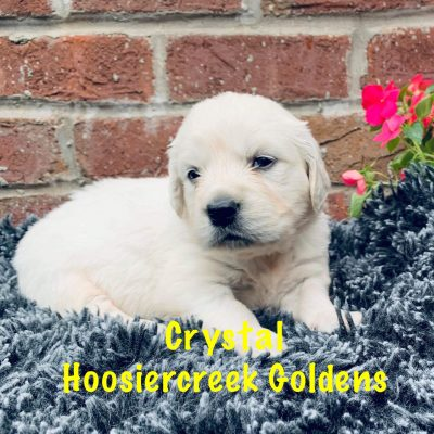 Crystal: AKC Female Golden Retriever puppy for sale [Loogootee, IN]
