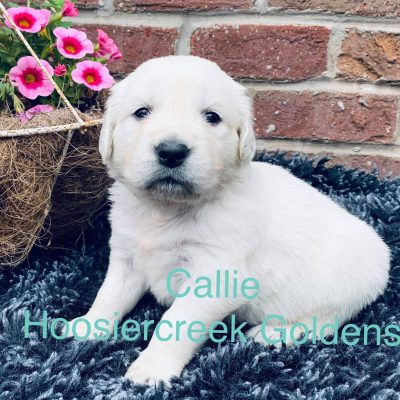 Callie: AKC Female Golden Retriever for sale in Loogootee, IN