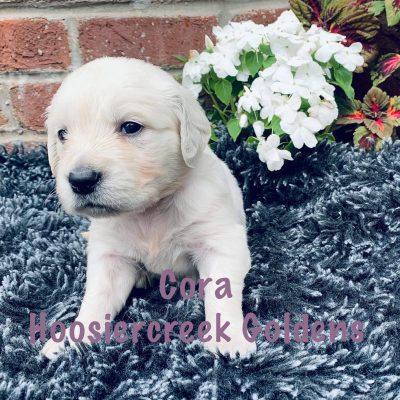 Cora: Female AKC Golden Retriever for sale [Loogootee, Indiana]