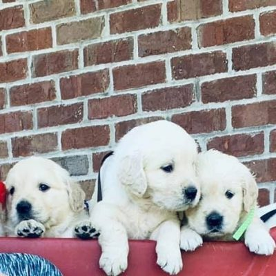 Lance : Male AKC Golden Retriever puppy for sale in [Loogootee, IN]