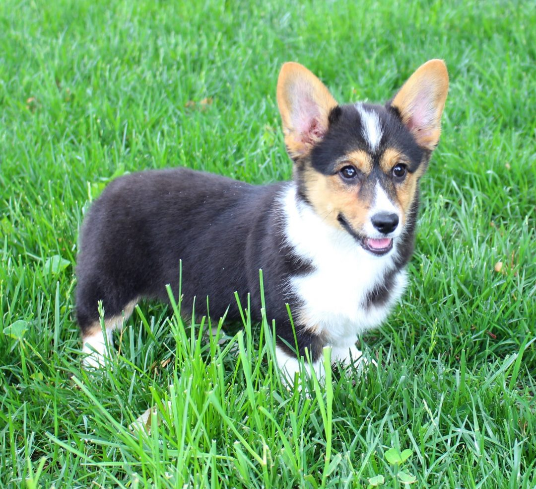 Cari - female Welsh Corgi puppy for sale in Harlan, Indiana