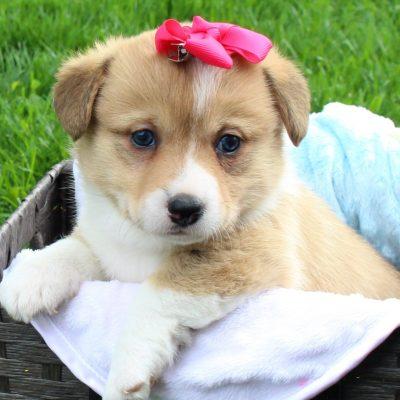 Madi - AKC Female Corgi puppy (DM Free) Harlan, Indiana
