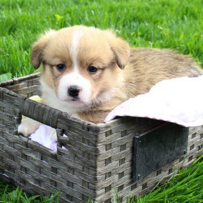 Max - AKC Male Corgi puppy (DM Free) Harlan, Indiana