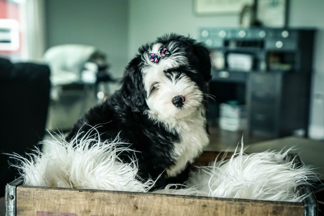 Mia!! Female Mini Sheepadoodle puppy for sale in Sugarcreek, OH
