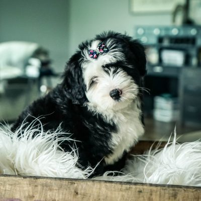 Mia! Female Mini Sheepadoodle puppy for sale in Sugarcreek, OH