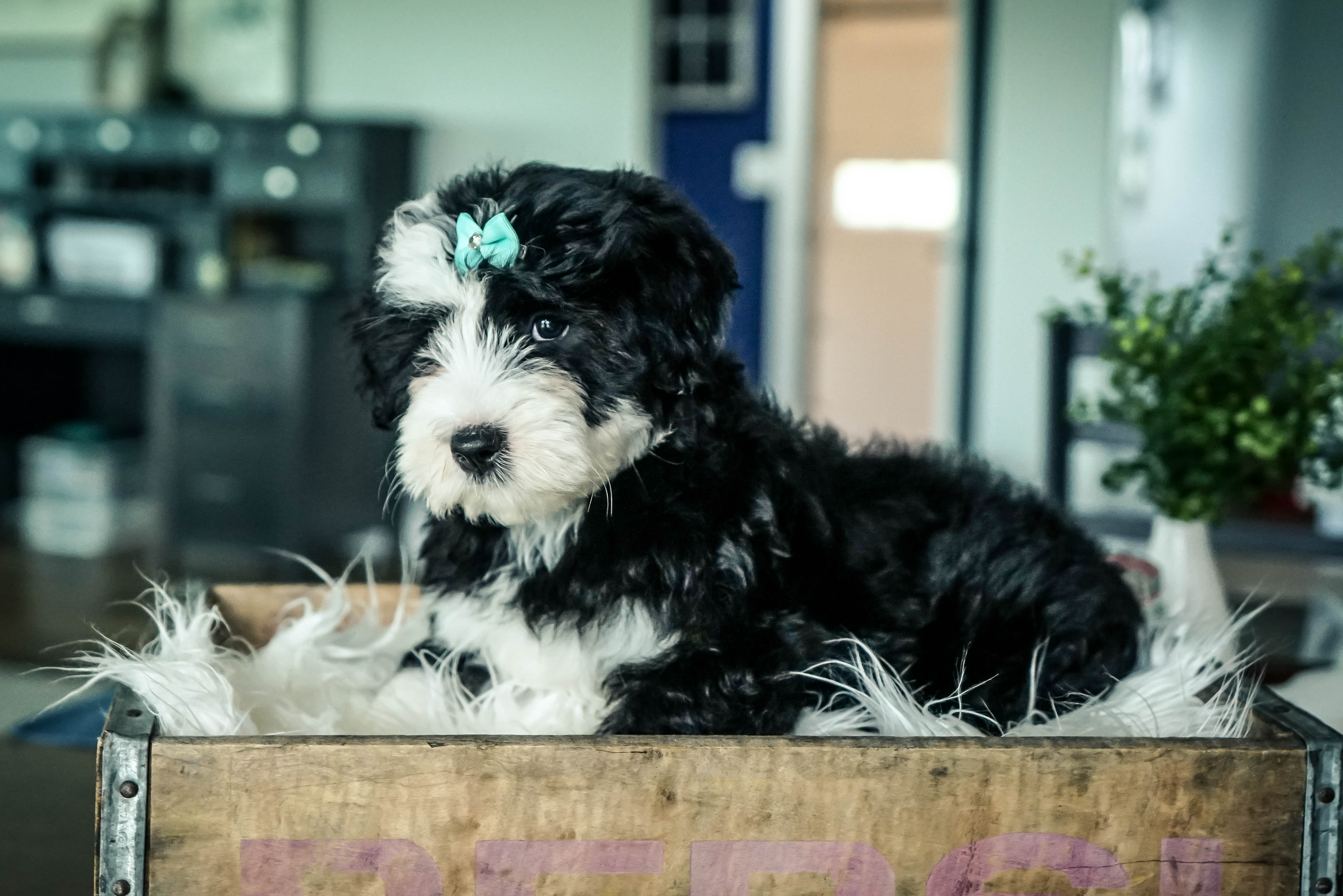 Gracie Mini Sheepadoodle Puppy For Sale In Sugarcreek Ohio Vip