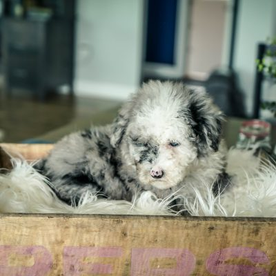 Oliver! Male Mini Sheepadoodle puppy for sale in Sugarcreek, OH
