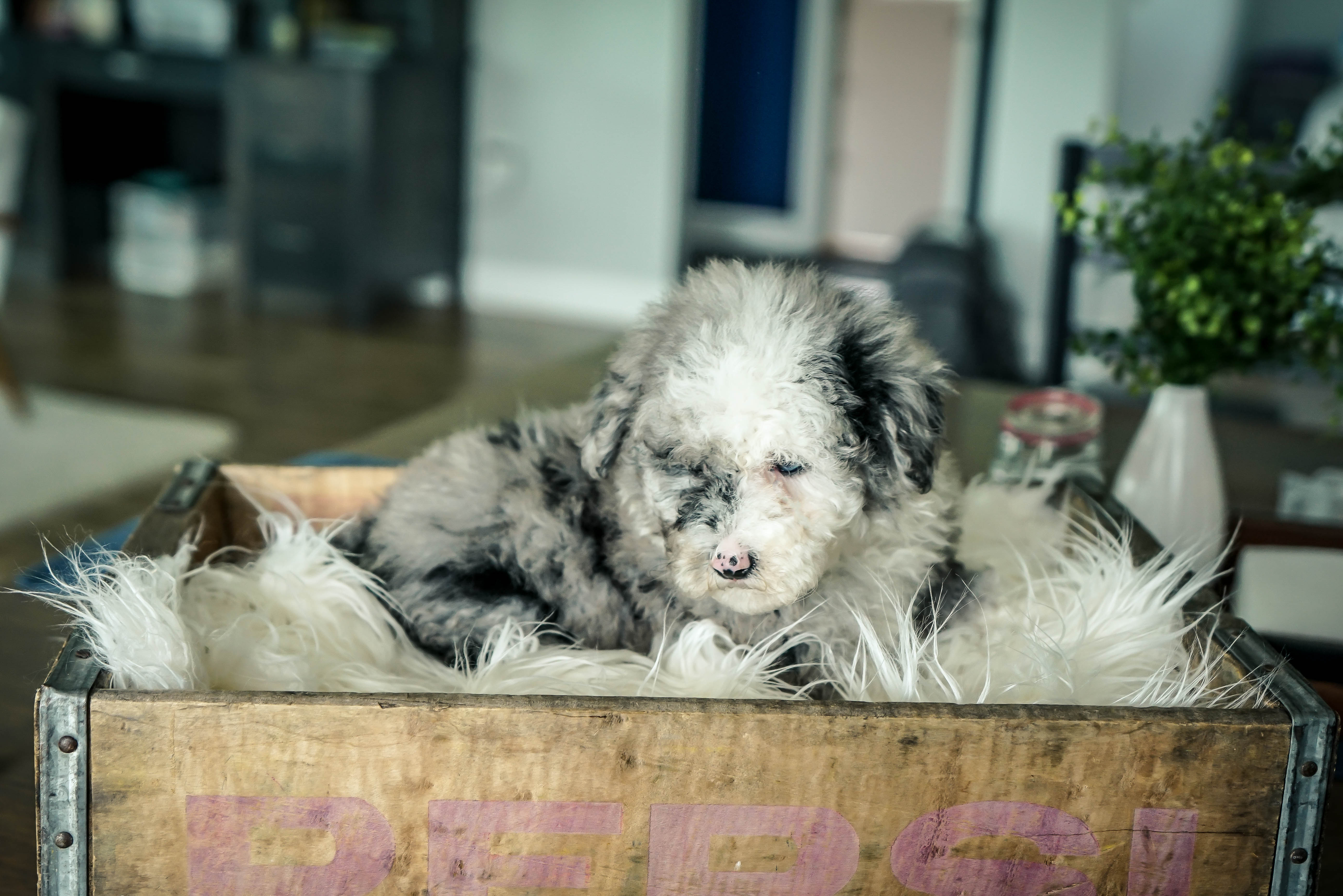 Oliver Male Mini Sheepadoodle Puppy For Sale In Sugarcreek Oh
