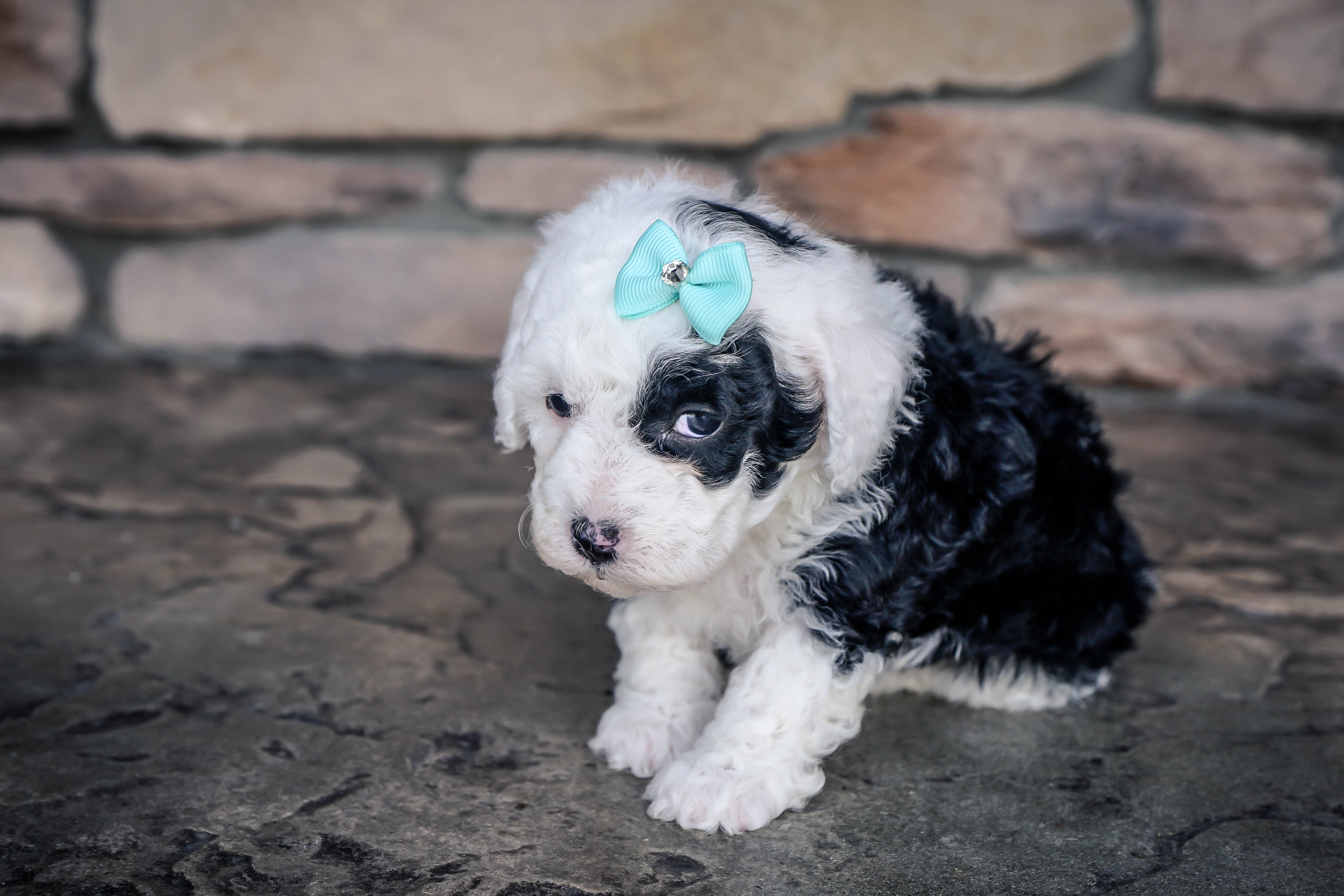 By Photo Congress || Sheepadoodle Mini