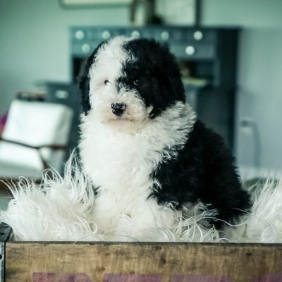 Finn!! Male Mini Sheepadoodle for sale in Sugarcreek, Ohio