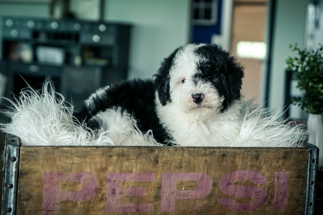Finn! Male Mini Sheepadoodle for sale in Sugarcreek, Ohio