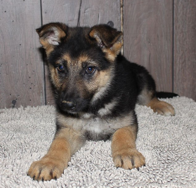 Lancy - AKC German Shepherd puppy in New Haven, Indiana