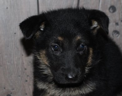 Gandy: female German Shepherd puppy in New Haven, IN