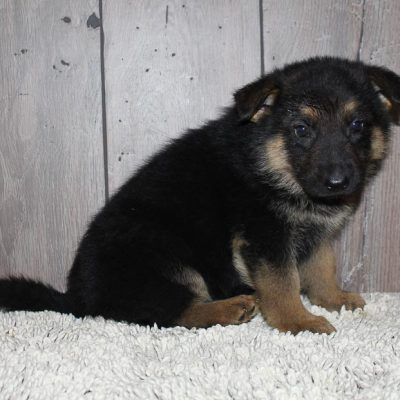 Gabriel: female German Shepherd puppy for sale [New Haven, IN]