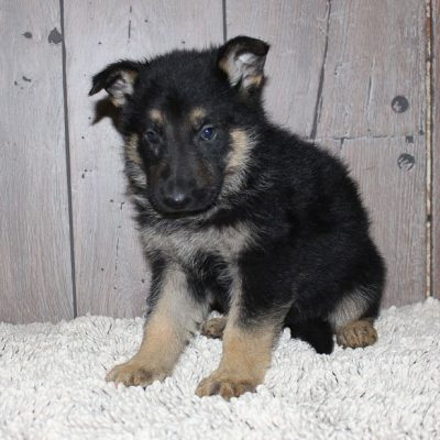 Gina: female German Shepherd puppy in New Haven, IN for sale