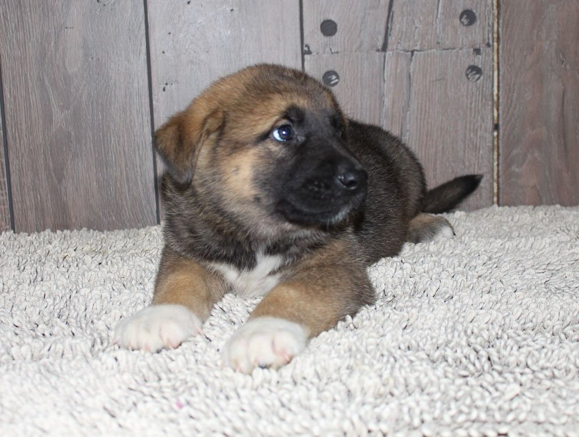 Arnold: male Akita Shepherd puppy for sale in New Haven, IN
