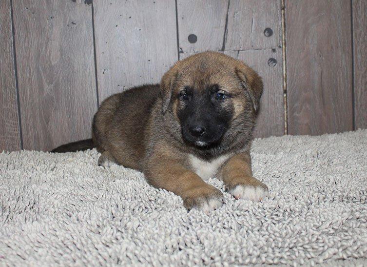 Ace: male [Akita Shepherd] puppy in New Haven, Indiana (Shepkita)